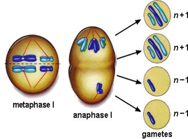 during meiosis  which will eventually cause XYY SyndromeXyy Syndrome Diagram