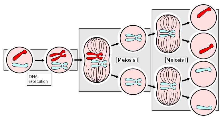 Xyy Meiosis This is the process of meiosisXyy Syndrome Diagram